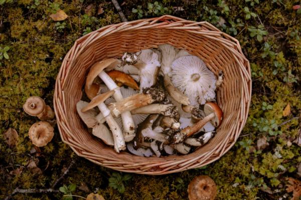 cueillette_champignons